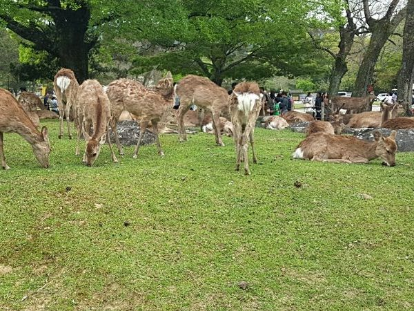 A perfect Nara day trip from Kyoto or Osaka includes seeing and feeding wild deers in Nara Park.