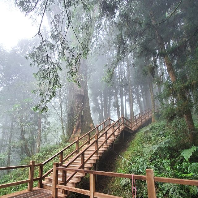 Follow the boardwalk of the Giant Tree Plank Trail and find No. 28 Giant Tree.