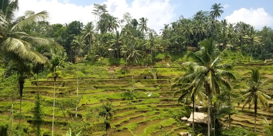 Just north of Ubud town, visit the magnificent Tegalalang Rice Terrace