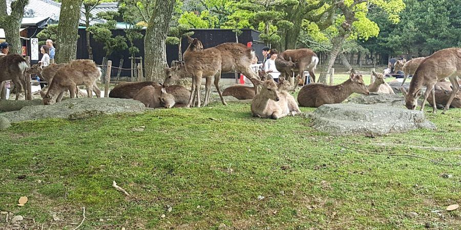 Nara deers in Nara, Japan