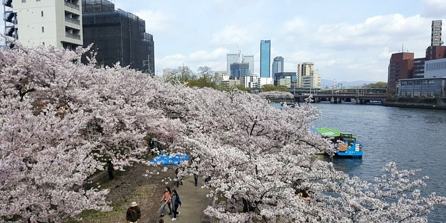 Cherry blossom season in Osaka Japan